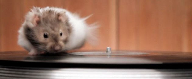 a rodent running on a turntable